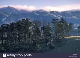 monterey pine forest pinus radiata stock photos u0026 monterey pine