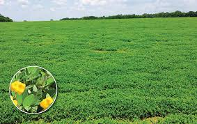 perennial peanut provides opportunities and challenges