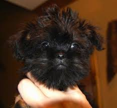 affenpinscher vs yorkshire terrier griffonshire dog breed information and pictures