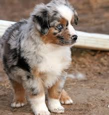 australian shepherd pomeranian mix 54 best images about dogs on pinterest basset puppies