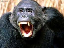 why chimpanzees should not be in the entertainment industry