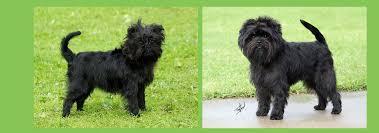 affenpinscher qualities purebred puppies purebred breed list