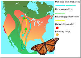 biology of the monarch butterfly danaus plexippus