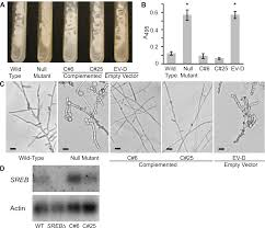 mycose b b si ge sreb a gata transcription factor that directs disparate fates in