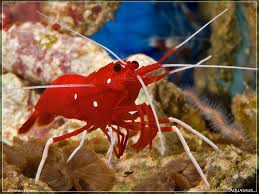 scarlet cleaner shrimp marine fish and inverts