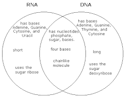 Dna Rna And Protein Synthesis Worksheet Mcdbiology Dna Rna And Protein Synthesis