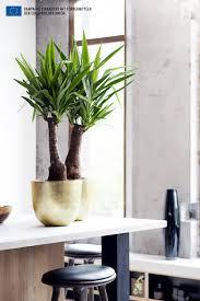 Yucca Wohnzimmer Die Yucca Ist Die Zimmerpflanze Des Monats Januar Pflanzenfreude