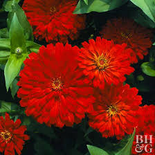 flower plants best red flowers for your garden