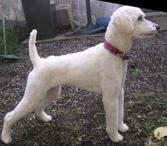 standard poodle hair styles 64 best poodles images on pinterest poodles toy poodles and