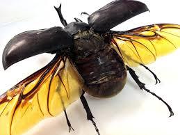 framed megasoma actaeon beetle or a megasoma actaeon family