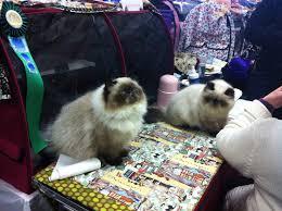 my himalayan cat goma blog