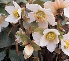 helleborus niger white flower farm