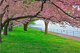 cherry blossom tree facts 8 facts about washington dc s cherry blossom festival roadtrippers