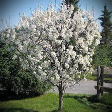 the 25 best plum tree ideas on pruning plum trees