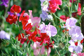 sweet peas flowers how to grow sweet peas dengarden