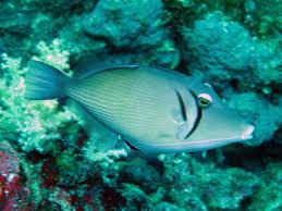 triggerfishes thai scuba