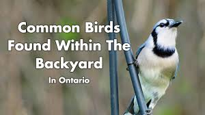 Ontario Backyard Birds What Birds Can I Find In My Backyard In Ontario Canada Youtube