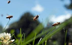 bees have feelings too and scientists should respect them aeon