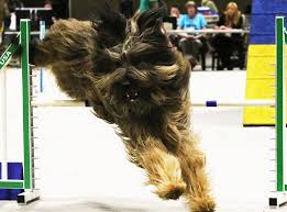affenpinscher hawaii seattle pooches of perfection the seattle times