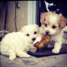 bichon frise 7 weeks old 26 best maltipoo images on pinterest animals puppies and