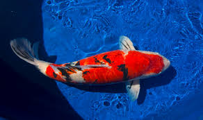 Different Koi Fish Meanings Feng Shui Fortune Symbol Koi