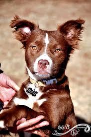 australian shepherd furever i found patches on boykin spaniel australian shepherd and animal
