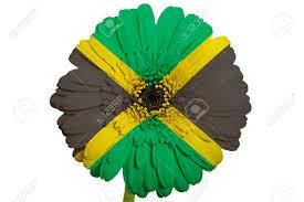 Flag Flower Gerbera Daisy Flower In Colors National Flag Of Jamaica On White