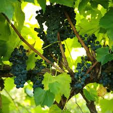 buy st croix grape vines for sale double a vineyards
