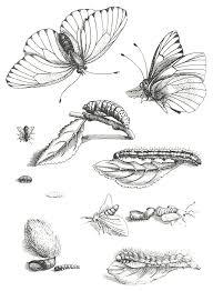maria sibylla merian botanical art u0026 artists