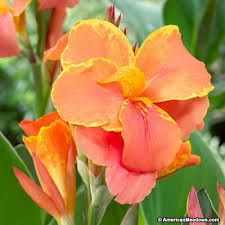 Canna Lily Canna Lily Corsica American Meadows