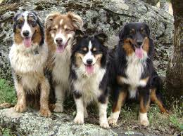 australian shepherd socal adoption u2013 aussie rescue socal