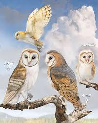 What Does A Barn Owl Look Like Barn Owl Whatbird Com
