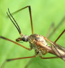 crane flies have interesting mouths tiny little life
