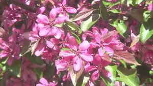 Trees With Pink Flowers Tree With Pink And White Flowers Stock Video Footage Videoblocks