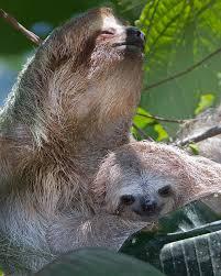 4 toed sloth costa rica 4 12 kenconger