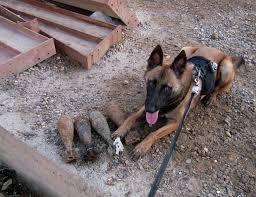belgian shepherd navy seals defense gov news article working dog teams help to make baghdad u0027s