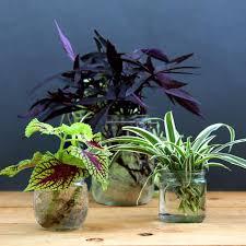 Indoor Vine Plants Grow Beautiful Indoor Plants In Glass Bottles A Piece Of Rainbow