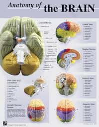 anatomy of the frontal lobe image collections learn human