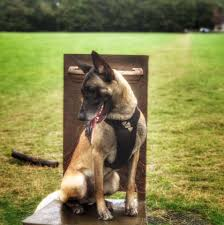 belgian shepherd victoria newtownabbey dog walkers home facebook