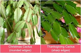 cactus care how to grow thanksgiving and cactus