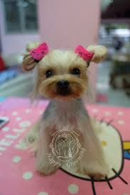 173 best yorkie cortes images on pinterest yorkies animals and