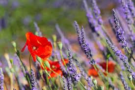 drought tolerant companion plants for lavenders