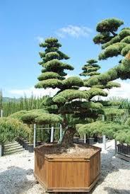 most expensive bonsai and ficus ginseng bonsai ginseng bonsai