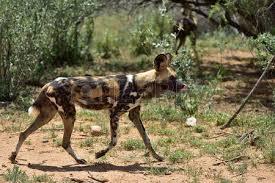 safari ltd african wild dog african wild dog running in savanna namibia africa stock photo