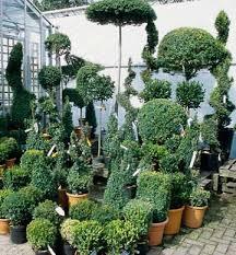 Topiaries Plants - 107 best outdoor topiary images on pinterest topiary garden