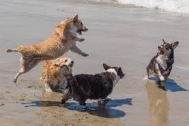 australian shepherd vs corgi cardigan welsh corgi dog breed information pictures