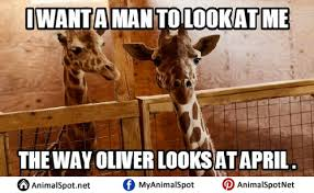 Drunk Giraffe Meme - giraffe memes