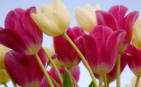 tulip wallpaper flower wallpapers free download wallpapers