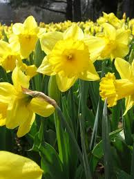 about daffodils daffodils flowers and spring
