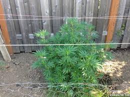 1st try at dwc soil grow huckleberry cherry pie dogwalker og